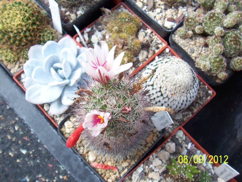 Cacti and Sukkulent in Köln, every day new flowers in the greenhouse Part 34 Bild_297