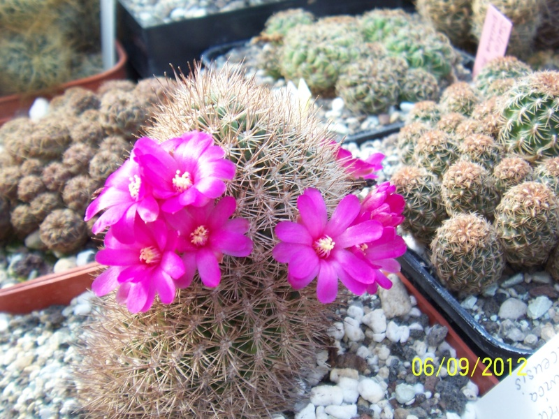 Cacti and Sukkulent in Köln, every day new flowers in the greenhouse Part 34 Bild_299