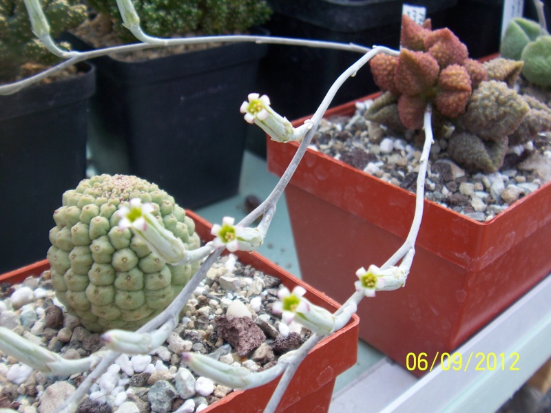 Cacti and Sukkulent in Köln, every day new flowers in the greenhouse Part 34 Bild_300