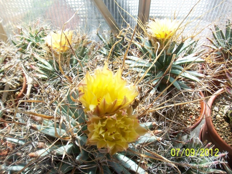 Cacti and Sukkulent in Köln, every day new flowers in the greenhouse Part 34 Bild_307