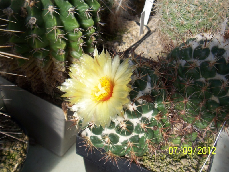 Cacti and Sukkulent in Köln, every day new flowers in the greenhouse Part 34 Bild_313