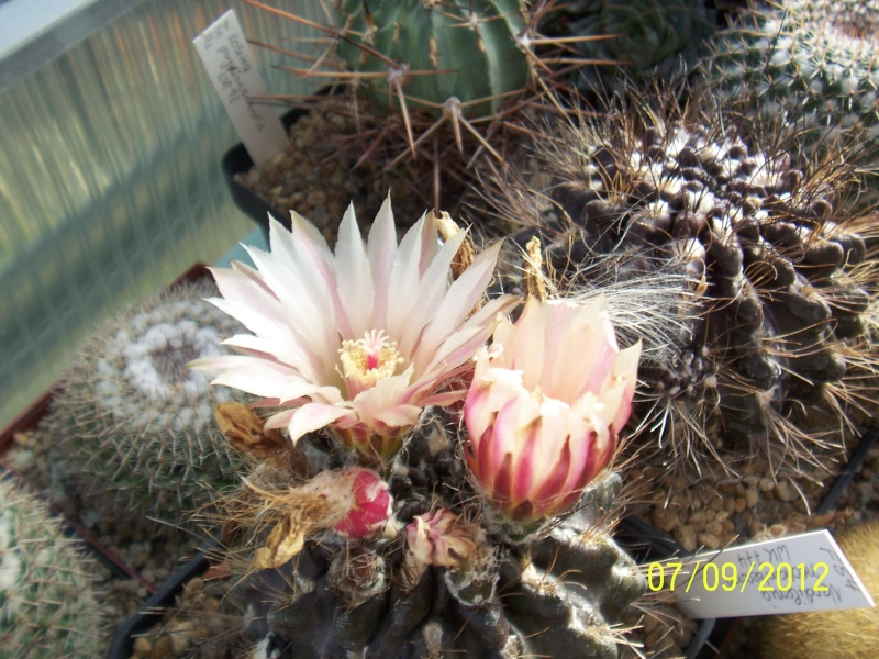 Cacti and Sukkulent in Köln, every day new flowers in the greenhouse Part 34 Bild_317