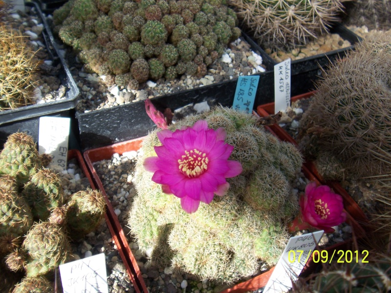 Cacti and Sukkulent in Köln, every day new flowers in the greenhouse Part 34 Bild_324
