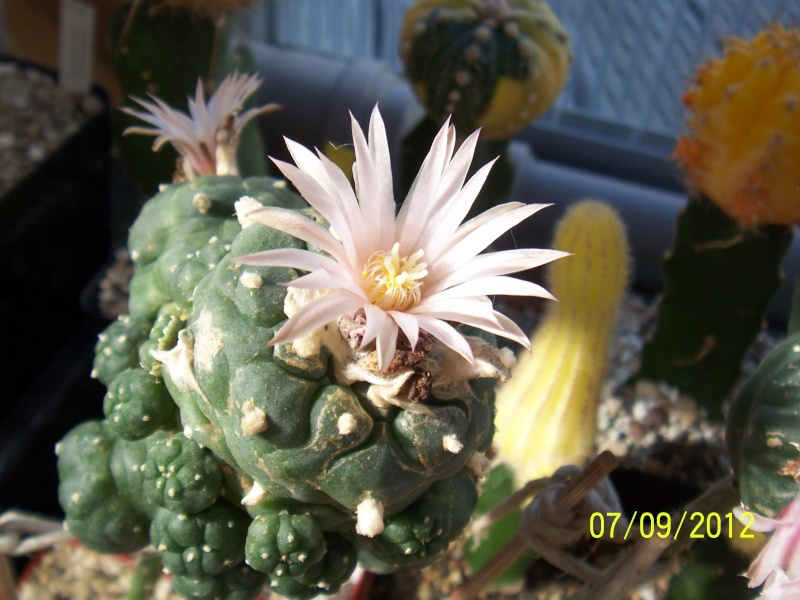 Cacti and Sukkulent in Köln, every day new flowers in the greenhouse Part 34 Bild_327