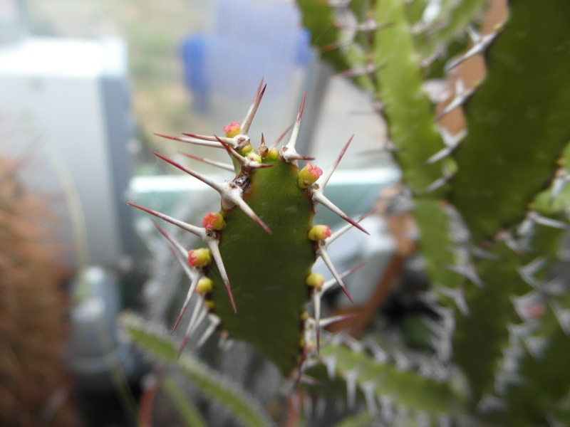 Cacti and Sukkulent in Köln, every day new flowers in the greenhouse Part 35 Bild_362