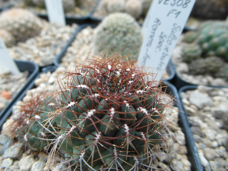 Cacti and Sukkulent in Köln, every day new flowers in the greenhouse Part 35 Bild_365