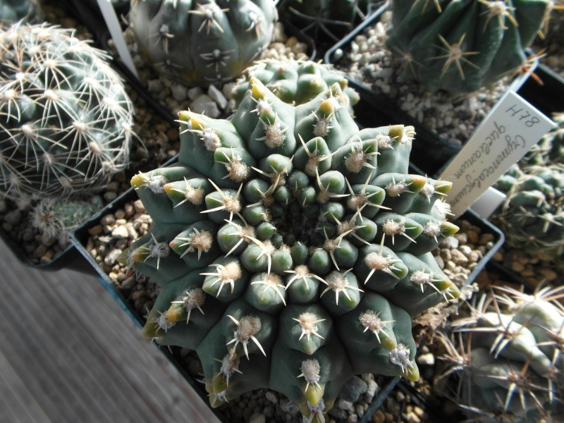 Cacti and Sukkulent in Köln, every day new flowers in the greenhouse Part 35 Bild_386