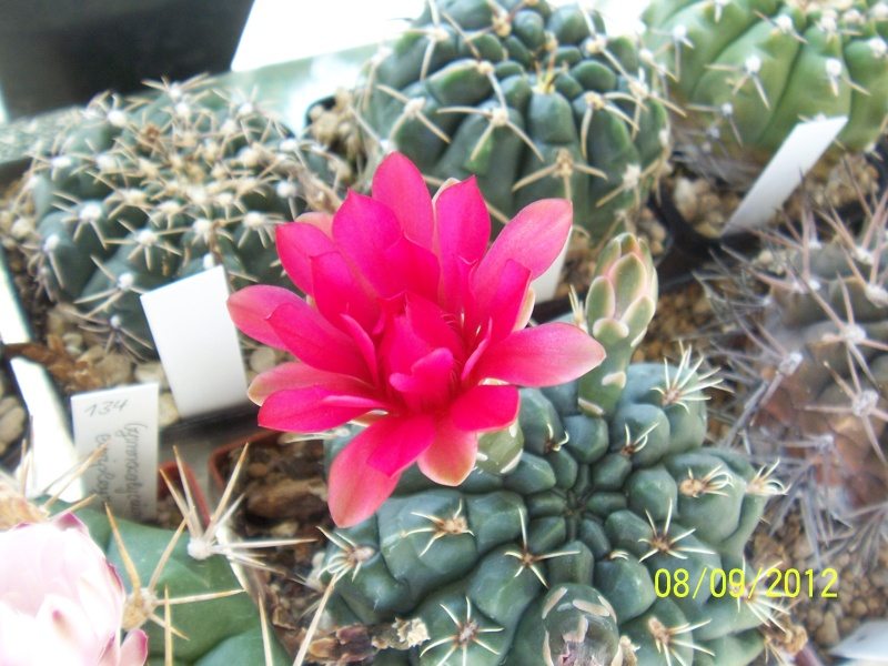 Cacti and Sukkulent in Köln, every day new flowers in the greenhouse Part 35 Bild_387