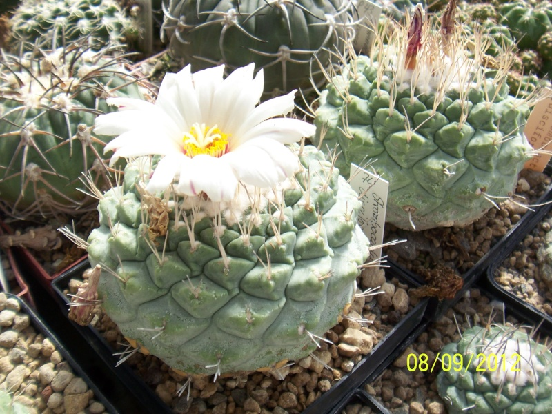 Cacti and Sukkulent in Köln, every day new flowers in the greenhouse Part 35 Bild_391