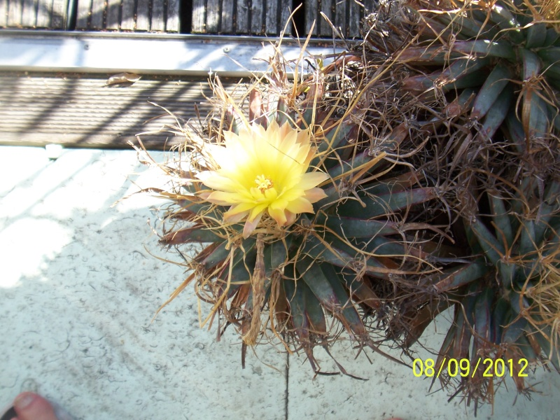 Cacti and Sukkulent in Köln, every day new flowers in the greenhouse Part 35 Bild_392
