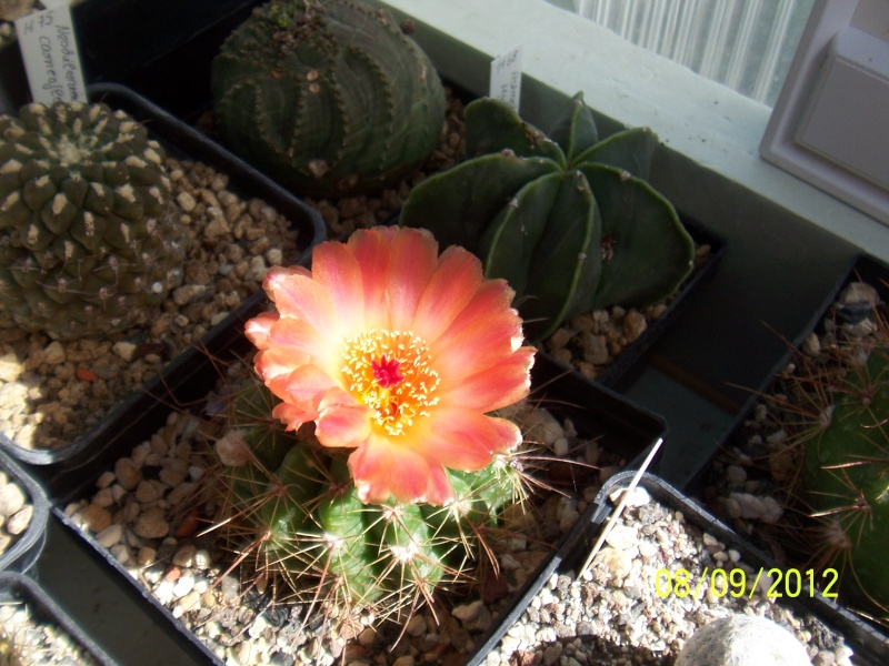 Cacti and Sukkulent in Köln, every day new flowers in the greenhouse Part 35 Bild_394