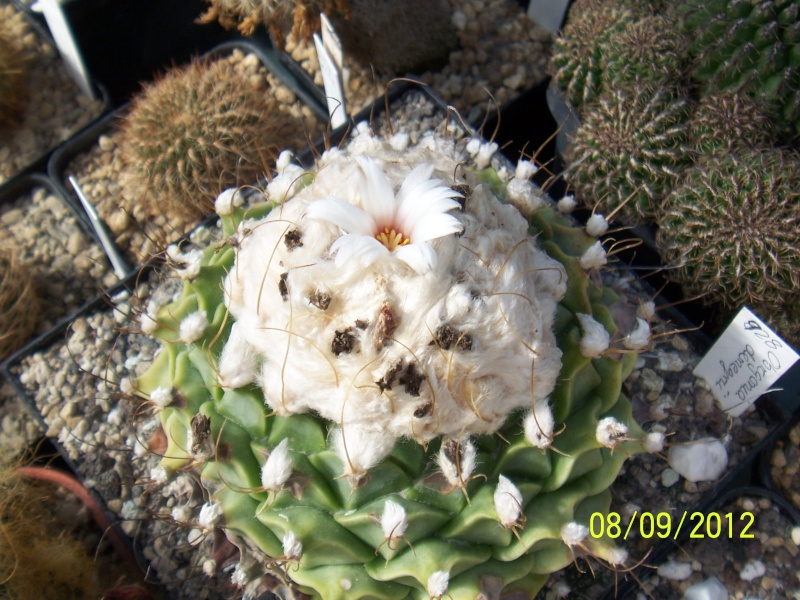 Cacti and Sukkulent in Köln, every day new flowers in the greenhouse Part 35 Bild_396