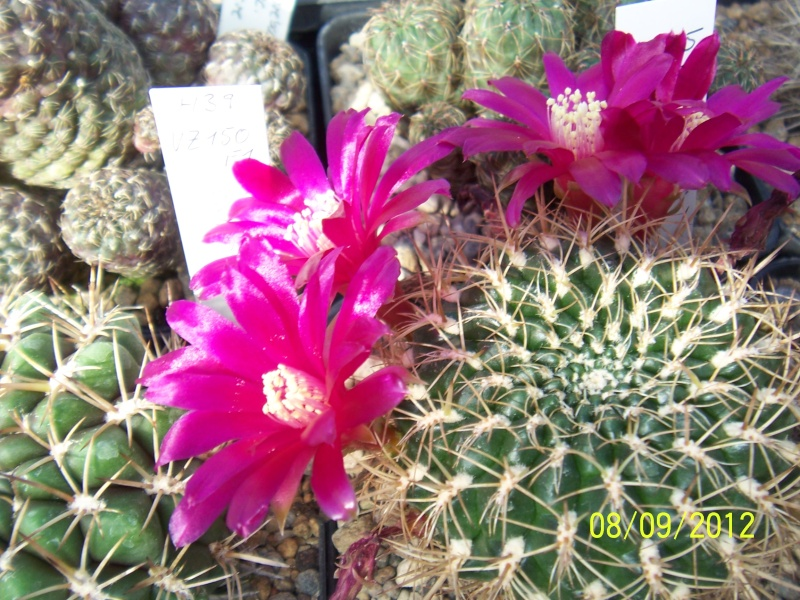 Cacti and Sukkulent in Köln, every day new flowers in the greenhouse Part 35 Bild_398