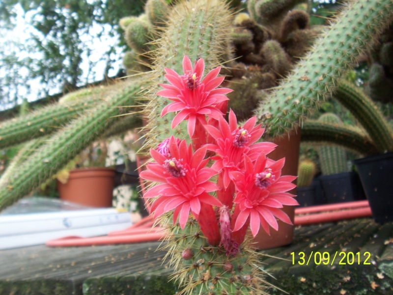 Cacti and Sukkulent in Köln, every day new flowers in the greenhouse Part 35 Bild_402