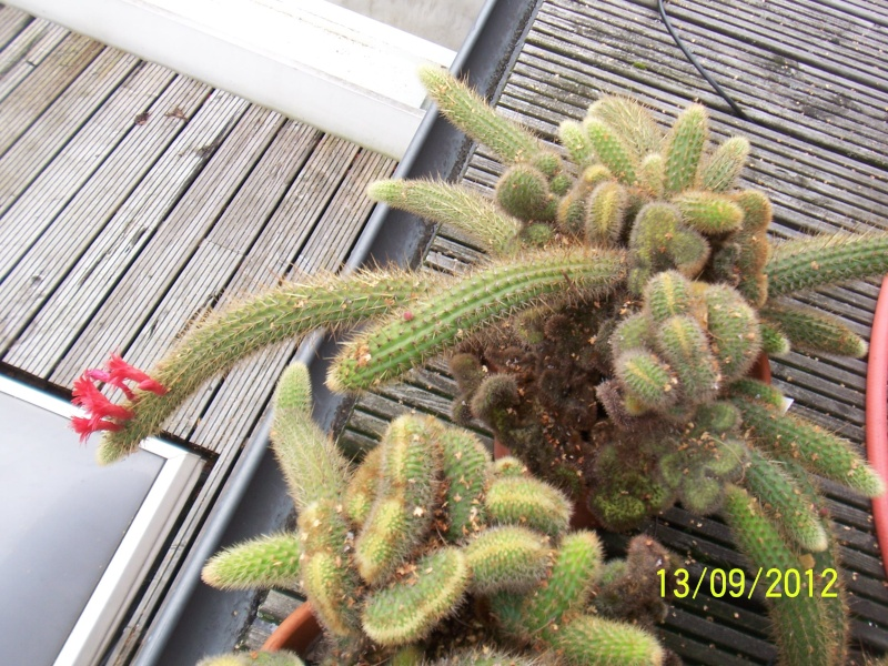 Cacti and Sukkulent in Köln, every day new flowers in the greenhouse Part 35 Bild_403