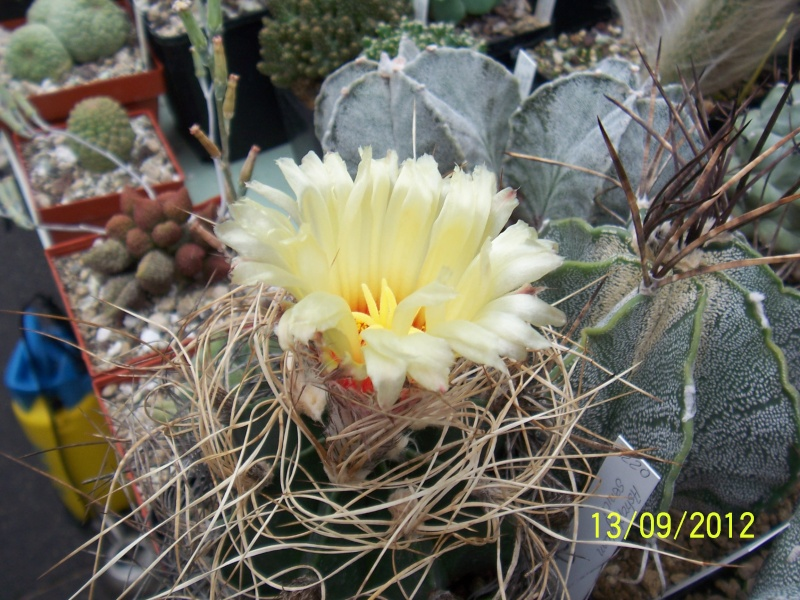 Cacti and Sukkulent in Köln, every day new flowers in the greenhouse Part 35 Bild_406