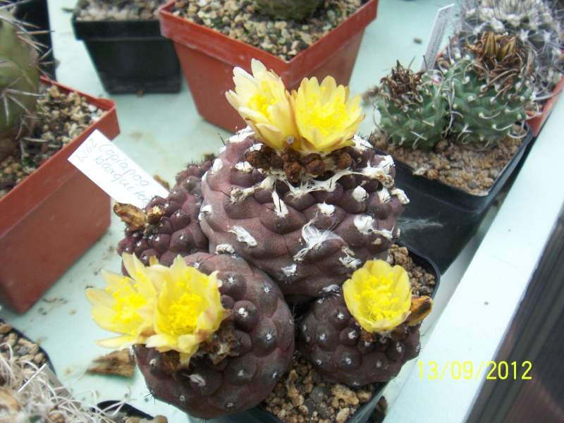 Cacti and Sukkulent in Köln, every day new flowers in the greenhouse Part 35 Bild_407
