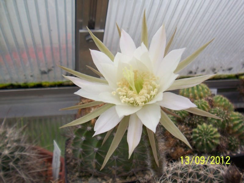 Cacti and Sukkulent in Köln, every day new flowers in the greenhouse Part 35 Bild_408