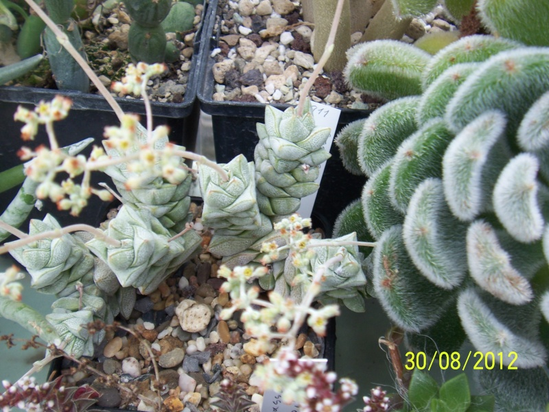 Cacti and Sukkulent in Köln, every day new flowers in the greenhouse Part 31 Bild_439
