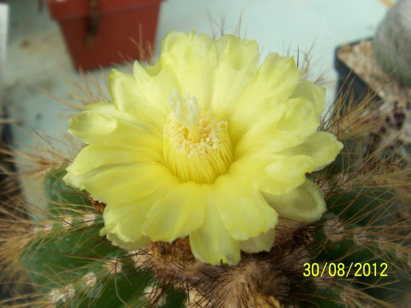 Cacti and Sukkulent in Köln, every day new flowers in the greenhouse Part 31 Bild_455