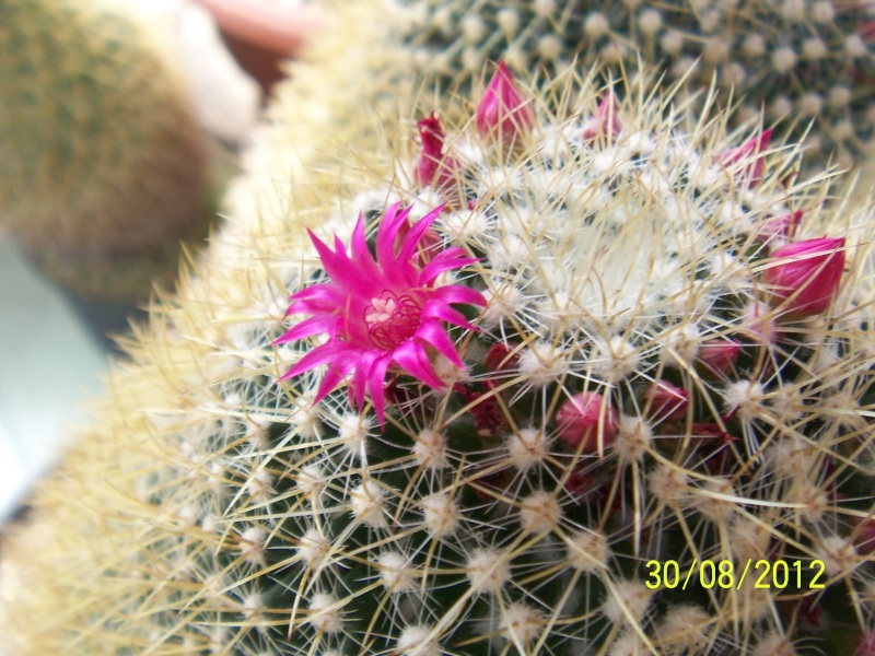 Cacti and Sukkulent in Köln, every day new flowers in the greenhouse Part 32 Bild_472