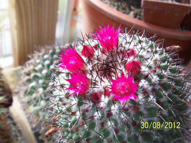 Cacti and Sukkulent in Köln, every day new flowers in the greenhouse Part 32 Bild_474