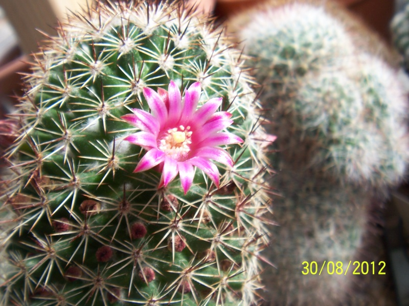Cacti and Sukkulent in Köln, every day new flowers in the greenhouse Part 32 Bild_476