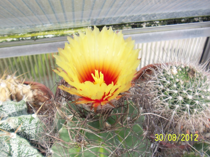 Cacti and Sukkulent in Köln, every day new flowers in the greenhouse Part 32 Bild_478