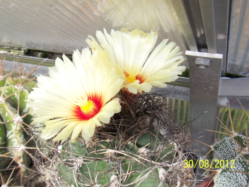 Cacti and Sukkulent in Köln, every day new flowers in the greenhouse Part 32 Bild_479
