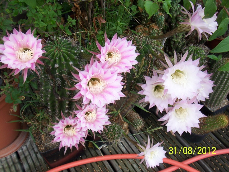 Cacti and Sukkulent in Köln, every day new flowers in the greenhouse Part 32 Bild_497