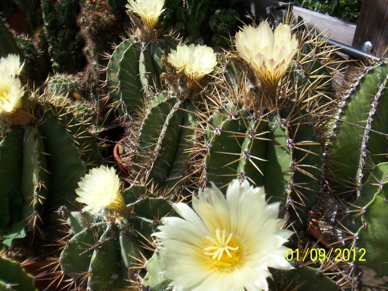 Cacti and Sukkulent in Köln, every day new flowers in the greenhouse Part 32 Bild_498