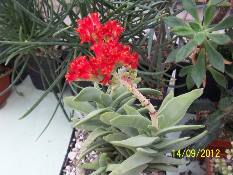 Cacti and Sukkulent in Köln, every day new flowers in the greenhouse Part 35 Bild_504