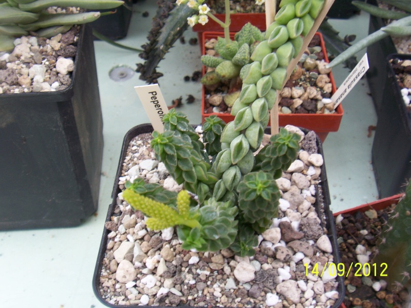 Cacti and Sukkulent in Köln, every day new flowers in the greenhouse Part 35 Bild_506