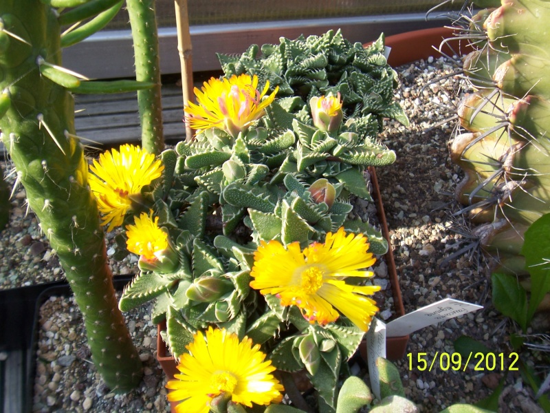 Cacti and Sukkulent in Köln, every day new flowers in the greenhouse Part 35 Bild_510