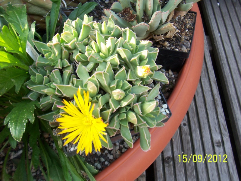Cacti and Sukkulent in Köln, every day new flowers in the greenhouse Part 35 Bild_511
