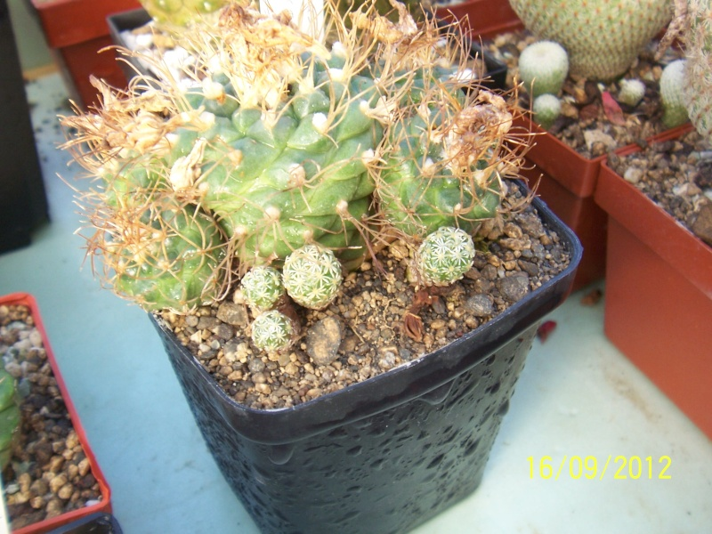 Cacti and Sukkulent in Köln, every day new flowers in the greenhouse Part 35 Bild_525