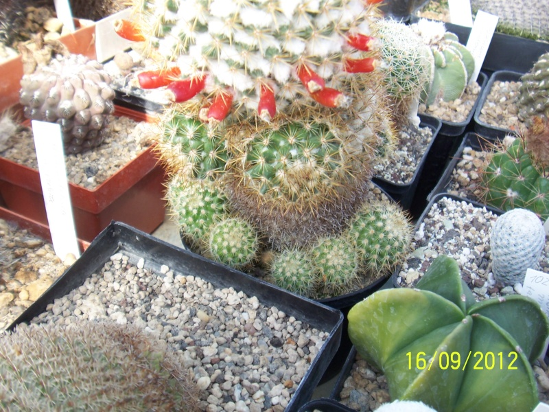 Cacti and Sukkulent in Köln, every day new flowers in the greenhouse Part 35 Bild_531