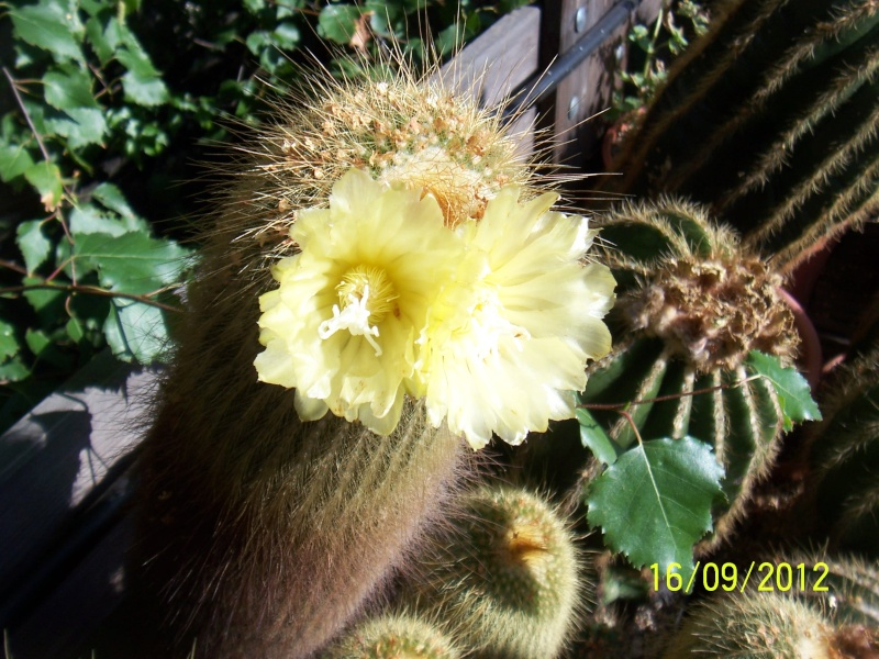 Cacti and Sukkulent in Köln, every day new flowers in the greenhouse Part 36 Bild_549