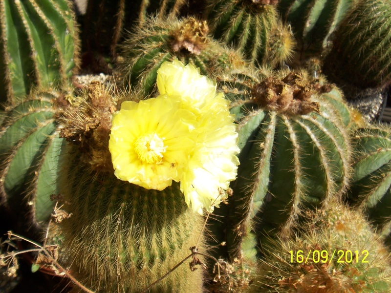 Cacti and Sukkulent in Köln, every day new flowers in the greenhouse Part 36 Bild_550