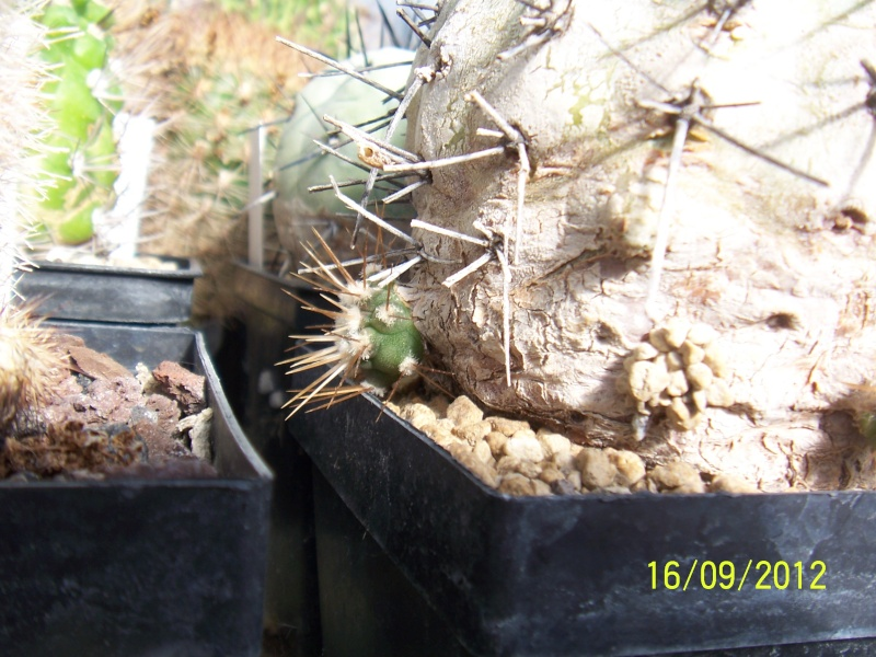 Cacti and Sukkulent in Köln, every day new flowers in the greenhouse Part 36 Bild_559