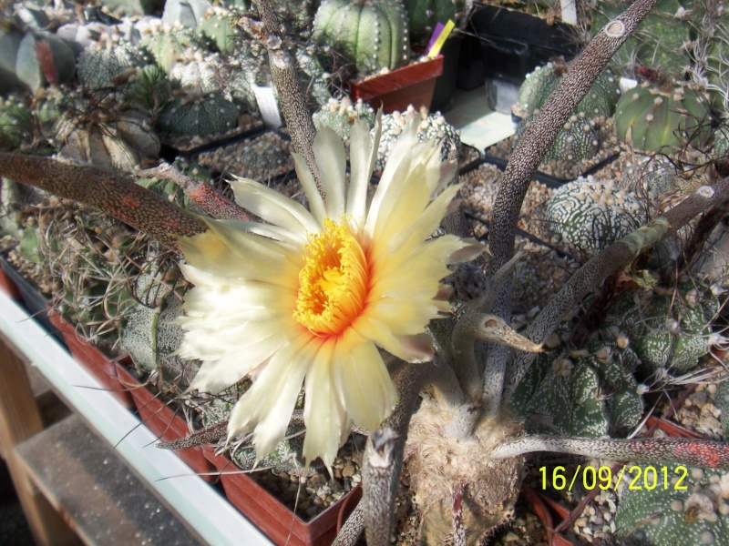 Cacti and Sukkulent in Köln, every day new flowers in the greenhouse Part 36 Bild_562