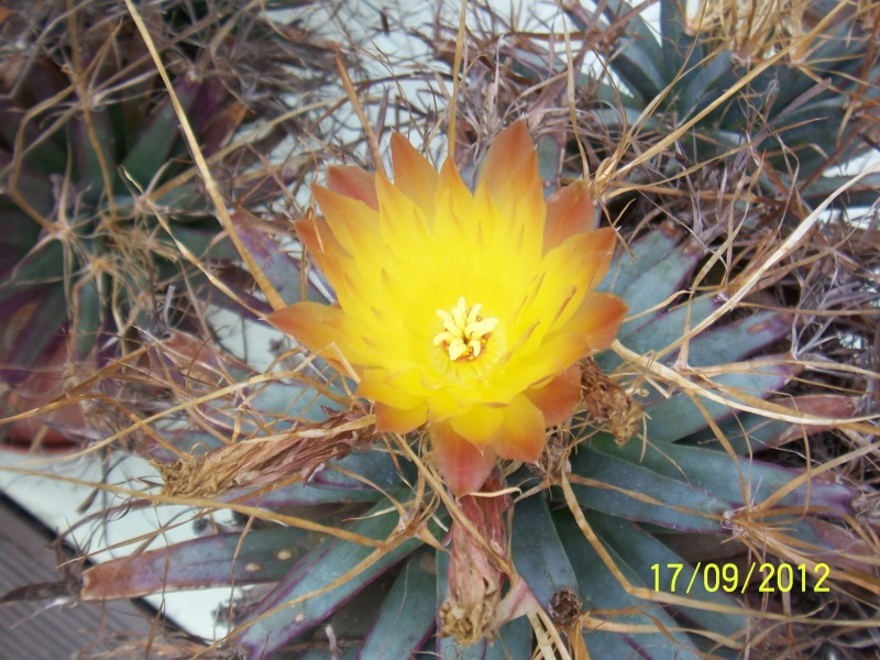 Cacti and Sukkulent in Köln, every day new flowers in the greenhouse Part 36 Bild_568