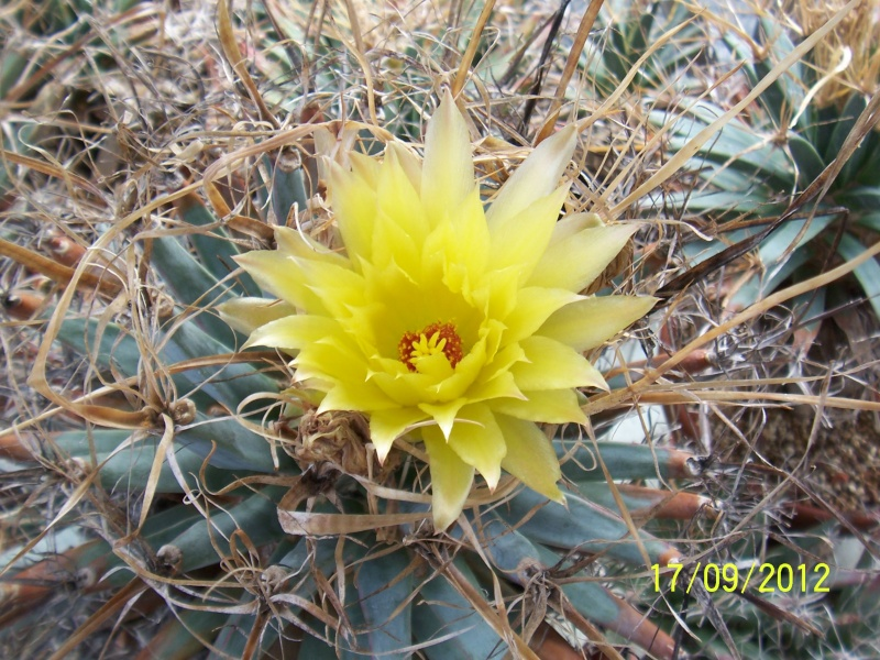 Cacti and Sukkulent in Köln, every day new flowers in the greenhouse Part 36 Bild_569