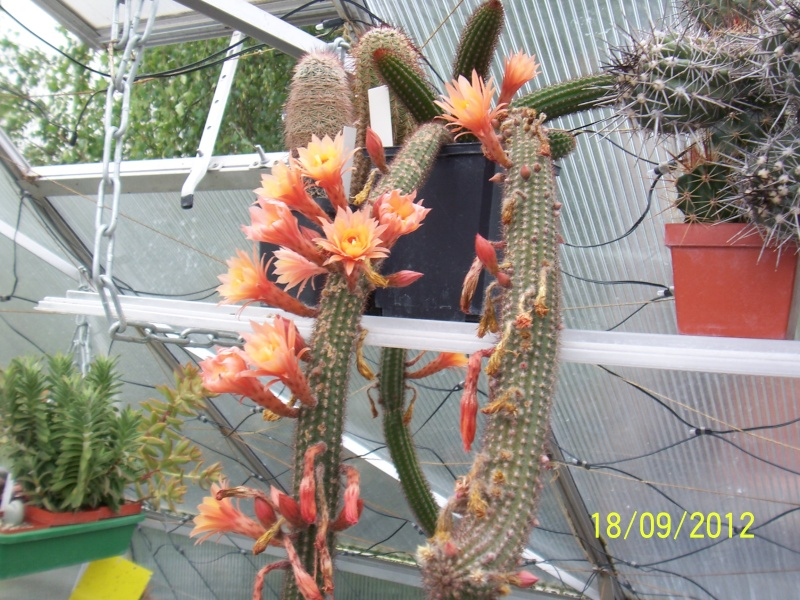 Cacti and Sukkulent in Köln, every day new flowers in the greenhouse Part 36 Bild_570