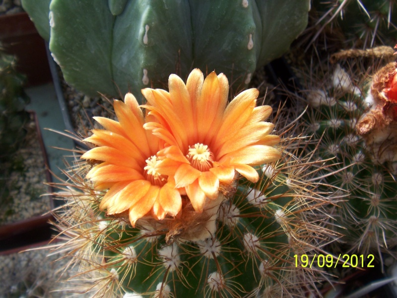 Cacti and Sukkulent in Köln, every day new flowers in the greenhouse Part 36 Bild_572