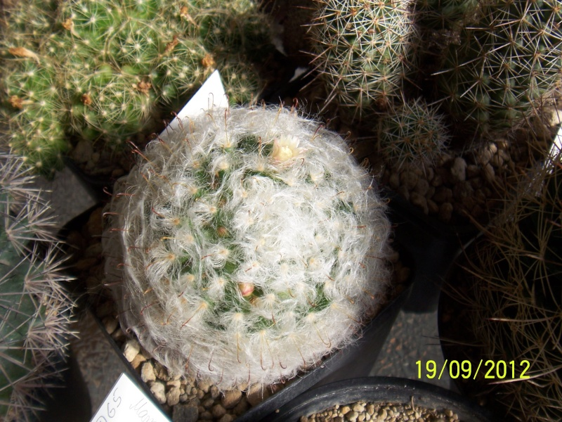 Cacti and Sukkulent in Köln, every day new flowers in the greenhouse Part 36 Bild_577