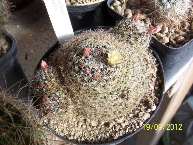 Cacti and Sukkulent in Köln, every day new flowers in the greenhouse Part 36 Bild_578