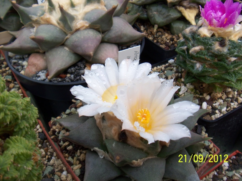 Cacti and Sukkulent in Köln, every day new flowers in the greenhouse Part 36 Bild_583