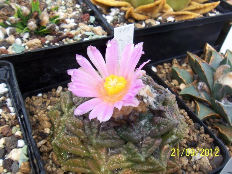 Cacti and Sukkulent in Köln, every day new flowers in the greenhouse Part 36 Bild_586