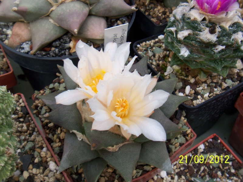 Cacti and Sukkulent in Köln, every day new flowers in the greenhouse Part 36 Bild_589